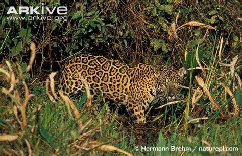 imagenes del jaguar en su habitat jaguar animal habitat www pixshark com images