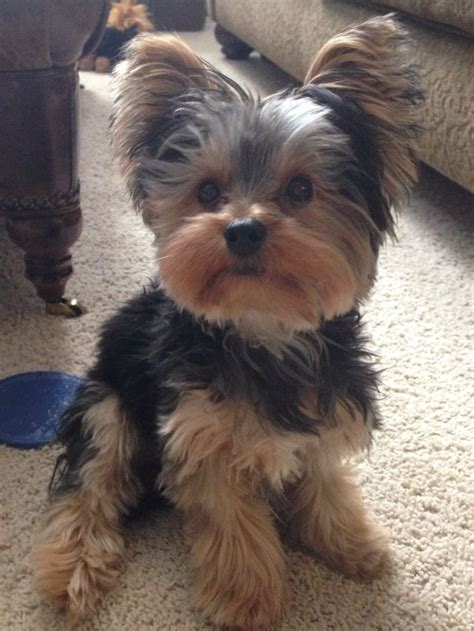 pictures of puppy haircuts for yorkie dogs 29 best yorkies images on pinterest puppies yorkie