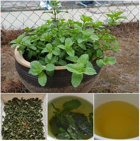 Teh Hijau Teh Hijau khasiat teh hijau pudina panas