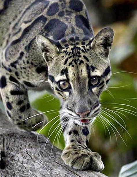 Clouded Leopard   Rare Asian Cat with Cloud Spots   Animal