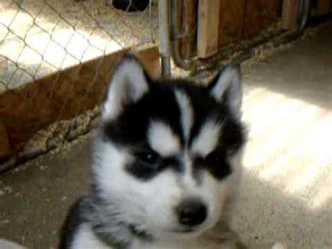 5 week puppies 5 week siberian huskies puppies