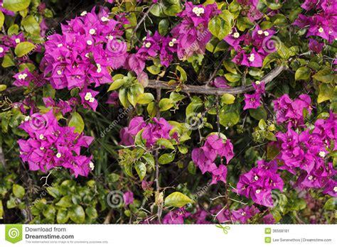 purple flowering shrubs in florida purple bougainvillea shrub stock image image 36568181