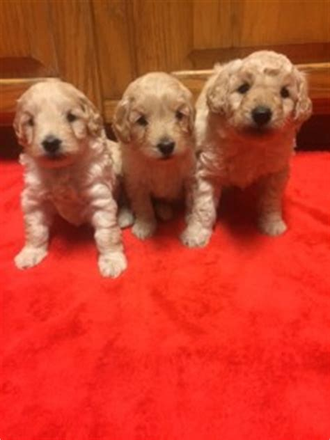 havapoo puppies for adoption havapoo puppies f1b miniature goldendoodle puppies for sale in ny nj pam s dollhouse