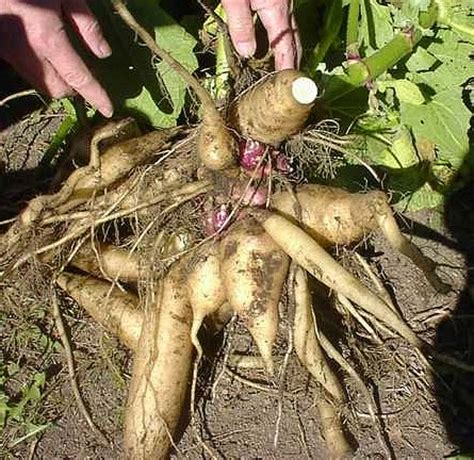 yacon root vegetable tasty veggie yacon crisp sweet ebay