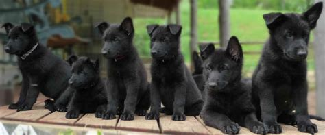 average price for german shepherd puppies the cost of a black german shepherd puppy can range anywhere from 500 to several