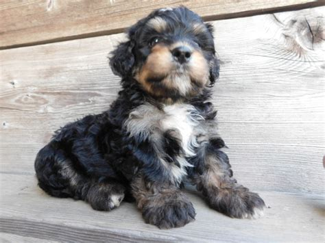 bernedoodle puppies for sale in ohio view ad miniature bernedoodle puppy for sale ohio millersburg usa