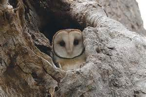 owl homes rats lord howe s owls may be sent home to roost