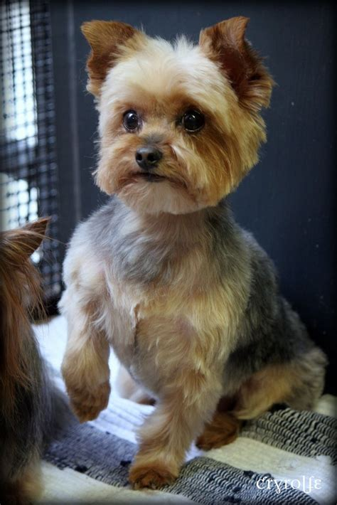 teacup yorkie haircuts pictures 21 best yorkie haircuts images on pinterest yorkies
