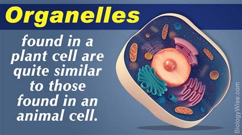 plant organelles cell  organelle notes
