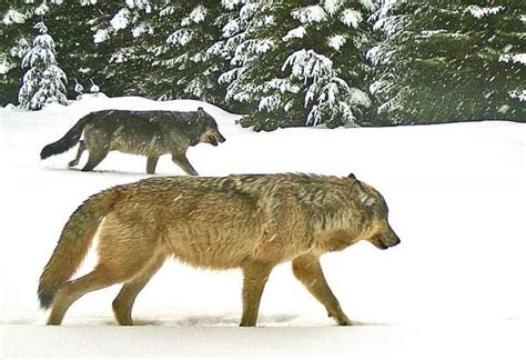 hd trailcam pictures of wolves in winter oregon s wolf management plan may come to resemble idaho s oregon capital press