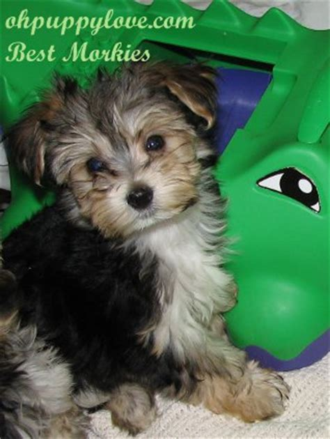 cheap yorkie puppies for sale in east yorkie puppies for adoption nj breeds picture