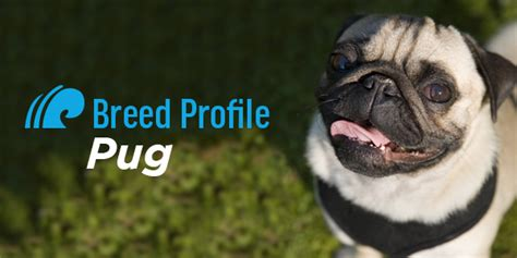pug breed profile breed profile pug pacific palisades veterinary center