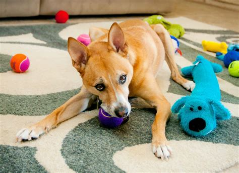 best toys for puppies top toys for dogs pets and boarding