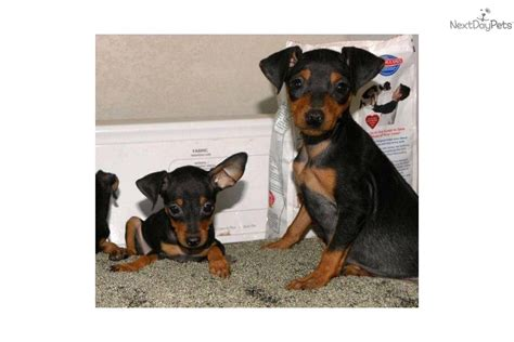 teacup miniature pinscher puppies for sale miniature pinscher puppies miniature pinscher for sale breeds picture