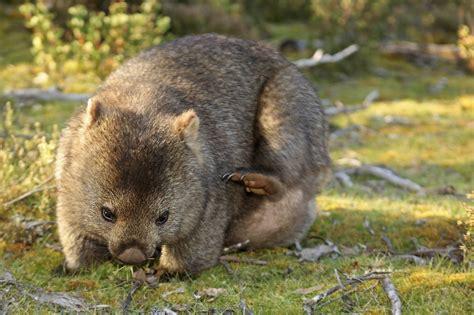 imagenes de animal wombat decoration amenagement exterieur com le wombat un