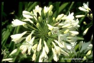 agapanthus a personal appraisal broadleigh gardens