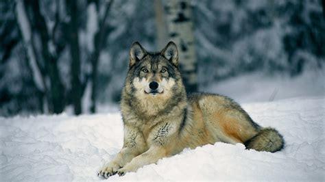 hd wallpapers 1920x1080 wolf wolf wallpaper hd 183 download free amazing full hd