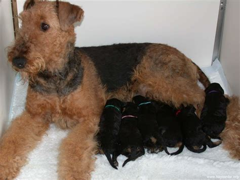 winter airedale haircut airedale terrier girl and ger puppies photo and wallpaper