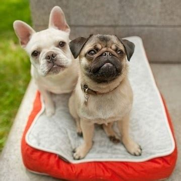 pug frenchie frenchie pug frug bulldog pug mix info puppies temperament