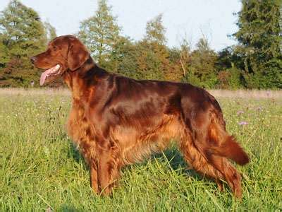 Irish Setter Working Dog | find out everything about irish red setter working dog