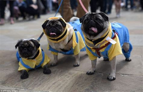celebrating pugs and pups descend on mediacity for pugfest