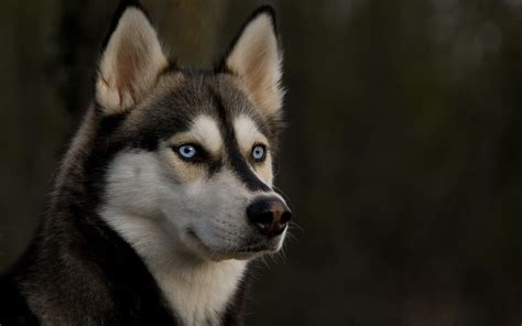 husky coat colors husky rescue sa coat colors of the siberian husky