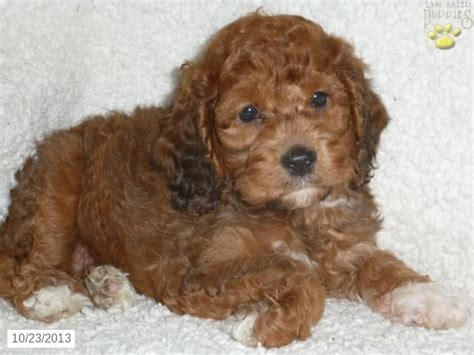 cockapoo puppies for sale in california 17 best ideas about cockapoo puppies for sale on cockapoo puppies black
