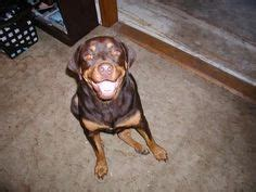 merle rottweiler 1000 images about breeds with colors coats on rottweilers