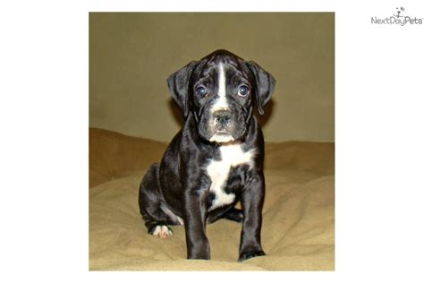 boxer puppies for sale near me boxer puppy for sale near maine 16601308 b601