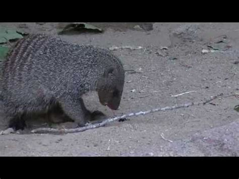 bed bugs denver mongoose vs egg doovi