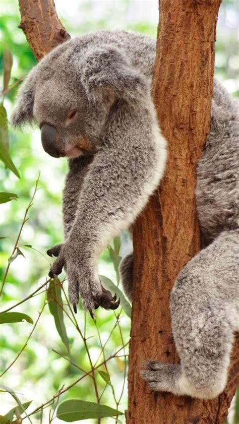 wallpaper iphone koala sleeping koala bear animals iphone 5 wallpaper animal
