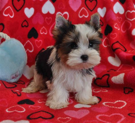 goldies yorkies yorkies for sale auto design tech