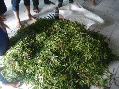 Fermentasi Hijauan Pakan Ternak silase rumput gajah sebagai pakan ternak sekilas peternakan