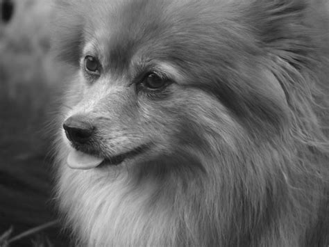 living with a pomeranian 221 best images about pomeranian sheepdog on shetland sheepdog pomeranian
