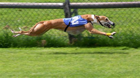 grey hound file greyhound racing 2 amk jpg