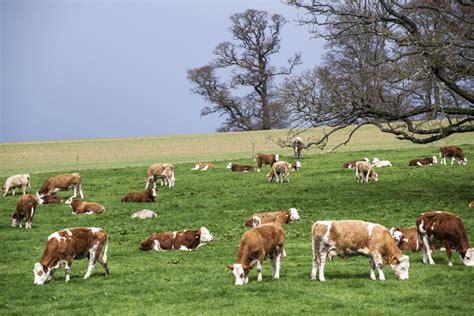englisch herd suckler herd declining as dairy numbers rise