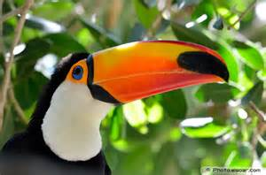 toucans colorful bird in pictures elsoar