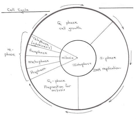the cell cycle coloring worksheet cell cycle diagram worksheet sketch coloring page