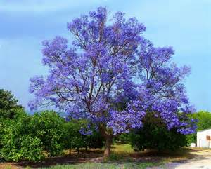 jacaranda mimosifolia jacaranda tree 15 rare viable seeds fragrant flowers ebay