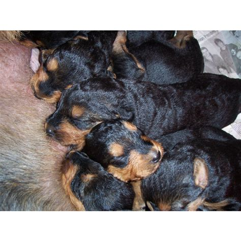 airedale terrier puppies for sale airedale terrier puppies for sale puppiesforsale