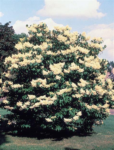 lilac tree information syringa reticulata wikispecies