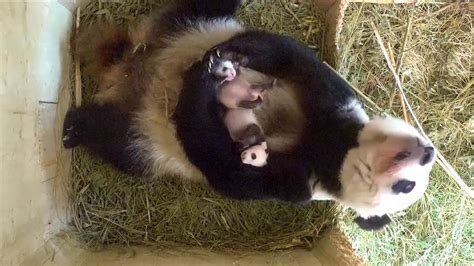 Giant Pandas Are No Longer Endangered - NBC News