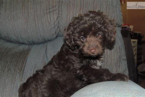 mini aussiedoodle puppies for sale near me aussiedoodle puppy for sale near toledo ohio ae88dd29 ed01