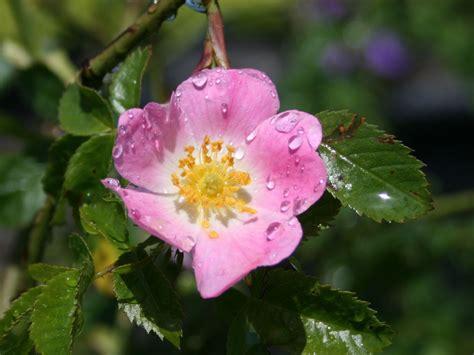 hundsrose rosa canina baumschule horstmann