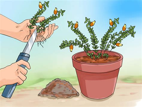 how to care for a how to care for a goldfish plant 6 steps with pictures