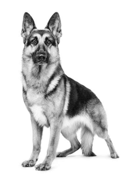 royal canin german shepherd puppy royal canin congratulates brand ambassador for westminster win