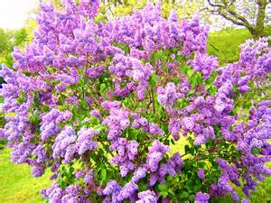 lilac bush kane landscapes plant of the week lilac