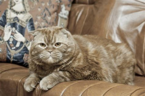 cat urine out of couch cleaning urine stains and odors from leather furniture