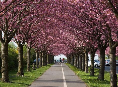 33 cherry tree 115 best images about flowering trees trees that flower on wisteria nature and