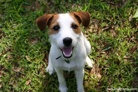 Parson Terrier Shedding by Oliver Doogs Pictures News Information From The Web